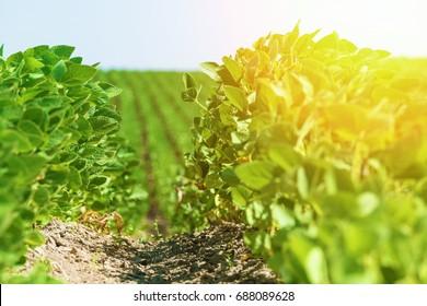 Green soybean field at summer