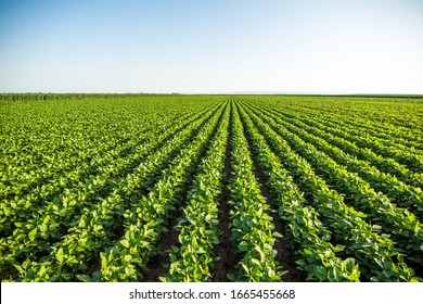 Green soybean field in Vojvodina,Serbia. Agricultural landscape.