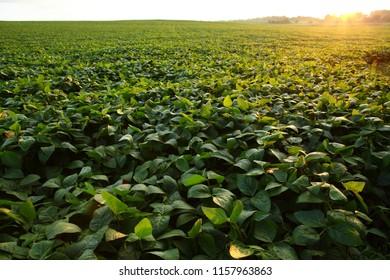Green soybeans field