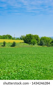 Green soybeans growing on the field in early summer