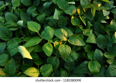 Green soybeans plants
