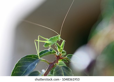 green speckled bush cricket or katydid close up Latin name leptophyes punctatissima flightless cricket or grasshopper on green leaf in summer