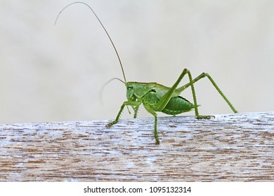 green speckled bush cricket or katydid close up Latin name leptophyes punctatissima or grasshopper on a wooden beam in central Italy in summer