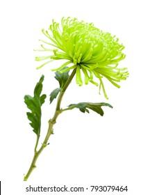 green spider Chrysanthemum flower isolated on white background