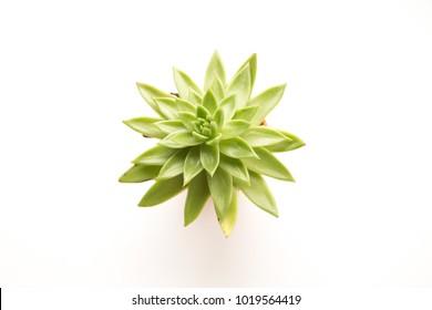 Green spiky plant shot overhead on white.