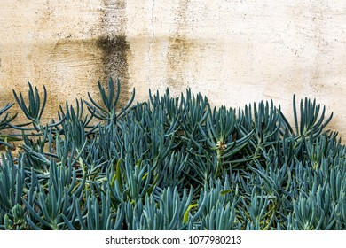 Green Spiky Succulent Plant against a White Stucco Wall in a Desert Garden