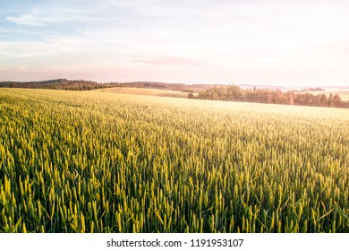 Green spring field of grain on sunny day with blue sky and white clouds. Natural, agricultural and rural landscape walpaper.