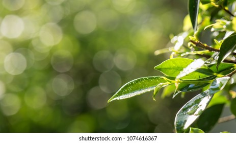 Green spring leaf with dew drops with natural  blurred foliage sunset bokeh background and copy space for text. Nature greenery frame concept.