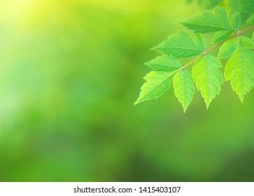 Green spring leaf of Koelreuteria paniculata branch with fresh leaf podstree and beautiful bokeh background. Composition of nature.