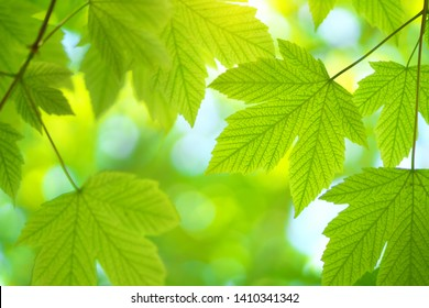Green spring leaf of maple tree and beautiful bokeh background. Composition of nature.