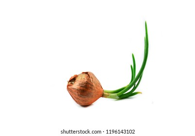 Green spring onion shallots isolated / Green Seedling or Bud of Shallot growing from shallots - onion isolated on white background  (Allium ascalonicum)