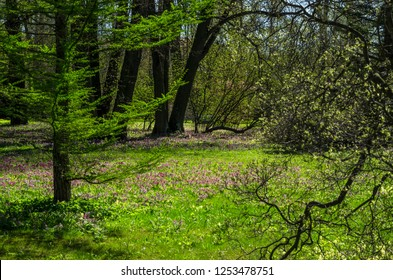 Green spring ornamental garden with flowering forbs. Neutral landscape with green field. Landscape Park. Forest landscape with firs and oaks.