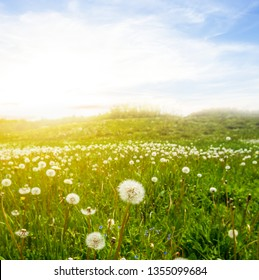 green spring prairie with dandelion flowers at the sunset