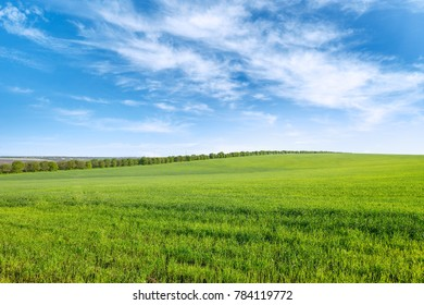 Green spring wheat field and blue sky with white clouds. Copy space