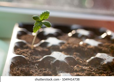 a green sprout of the first spring early hemp sprouted from the ground with two small leaves of marijuana medicinal