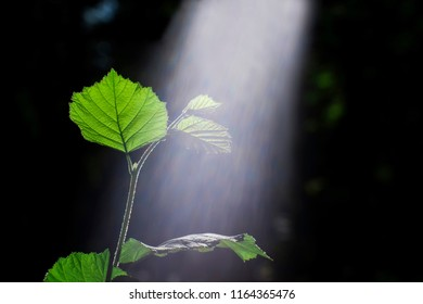 Green sprout of a young branch of a Bush of hazel illuminated by the sun with a visible spectrum of light The concept of plant photosynthesis. Unfiltered photo.