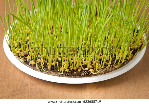 green sprouting wheat grass in a white plate