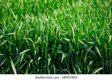 Green sprouts of wheat in the field