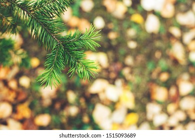 Green spruce branch on a background of autumn foliage.