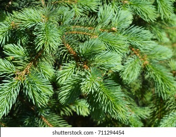 Green  spruce branches as a textured background. Green spruce, white spruce or Colorado blue spruce.