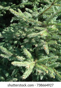 Green spruce branches as a textured background. Green spruce, blue spruce.