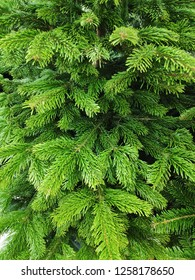Green spruce closeup photo for Christmas and New Year holidays