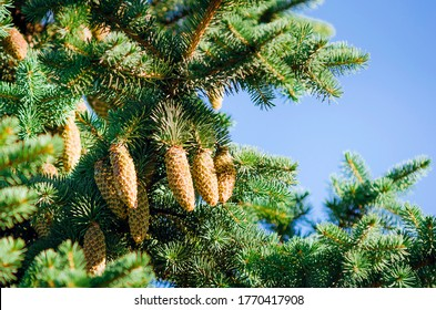 Green spruce, fir with cones and needles against the blue sky. Evergreen coniferous Christmas tree.