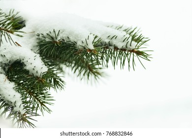 Green spruce in the forest, fluffy snow on the spruce branches. Background & Textures