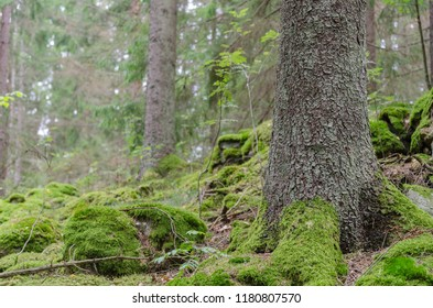 Green spruce forest ground with moss covered roots and stones