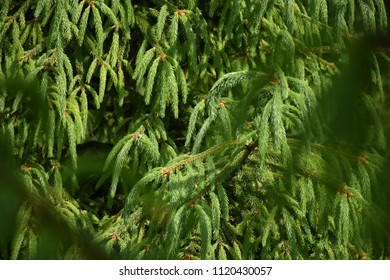 Green spruce tree branches