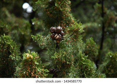 Green Spruce Trees With Berries
