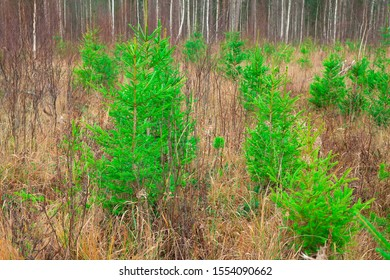 Green spruce trees grow on the old felling. A row of young green trees. Forestry and afforestation. A young forest planted by man.