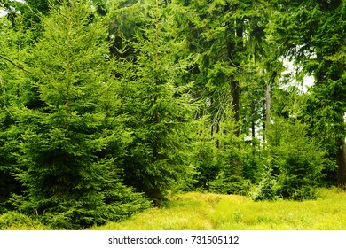 Green spruces in coniferous evergreen forest. Young Norway spruce picea abies trees growing in woodland in Owl Mountains (Gory Sowie) Landscape Park, Sudetes, south-west Poland.