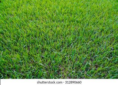 Green St Augustine Grass