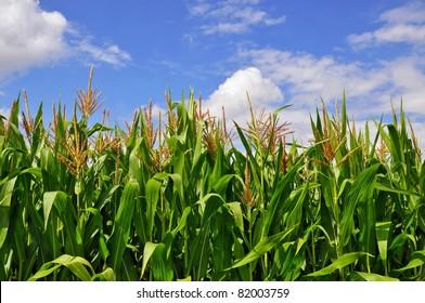 Green stalks of corn under clouds