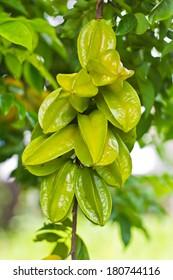 Green star apple fruit on the tree.
