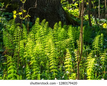 Green sterile non-reproductive stems of field horsetail or common horsetail (Equisetum arvense) growing in a forest, native throughout the arctic and temperate regions of the northern hemisphere