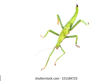 green stick insect Diapherodes gigantea isolated