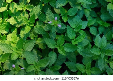 Green stinging nettle in forest