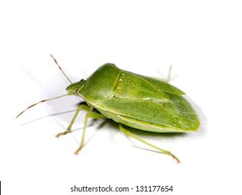 Green stink bug (Nezara viridula). Spanish: Chinche Verde