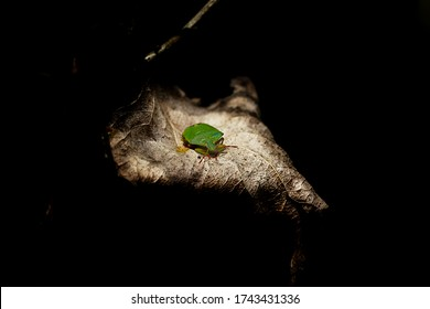 Сute green stink bug sitting on a leaf