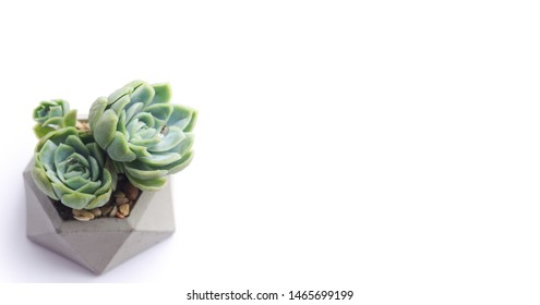green succulent in concrete pot. Horisontal banner. isolated succulent flower in white background. cement original pot with house plant.