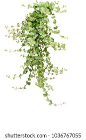 Green succulent leaves hanging climber plant isolated on white background, clipping path included.