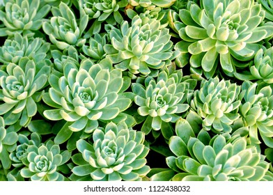 Green Succulent plant background, texture. Macro shot with soft, selective focus, shallow DOF
