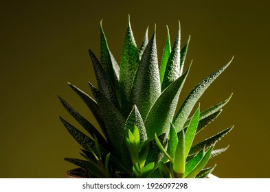 Green succulent plant on green background. Free Space.
