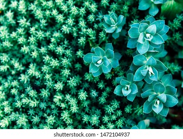 Green succulent plants background. Close up, top view, flat lay