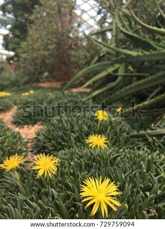 Green Succulent Plants Beautiful Yellow Flowers Stock Photo Edit