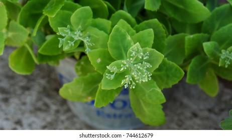 Green suculent
