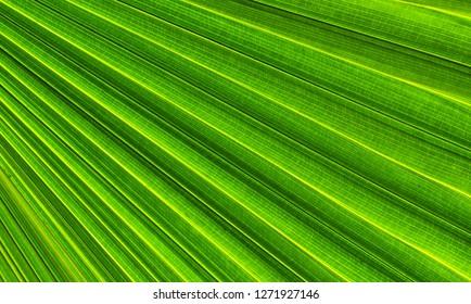Green sugar palm leaf background