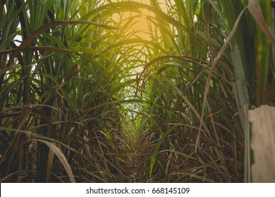 Green sugarcane field with orange sun ray at Thailand.